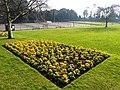 Oldway Mansion Garden, Paignton, fine Spring primulas - geograph.org.uk - 692911.jpg