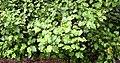Olearia paniculata in Auckland Botanic Gardens.jpg