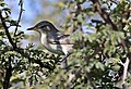 Olive-tree warbler, Hippolais olivetorum, at Zaagkuildrift Road near Kgomo Kgomo, Limpopo, South Africa (33525148126).jpg