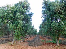 Olive Wikipedia