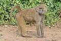 Olive baboon Ngorongoro 2010.jpg