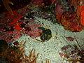 Omegophora cyanopunctata Bluespotted toadfish PC290525.JPG