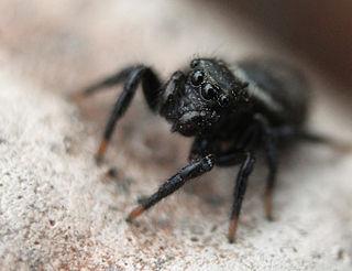 <i>Zenodorus</i> (spider) genus of arachnids