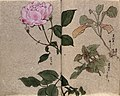 One flowering rose (Rosa species) and two other Wellcome V0043672.jpg