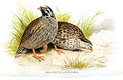 An artist's impression of the Himalayan mountain quail, one of three bird species of India that went extinct in the 20th century.