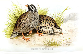 Himalayan quail - A pair of Himalayan quails from Hume and Marshall's Game-birds of India, Burmah and Ceylon. Hume noted that the depiction was incorrect and that the plumage of the male (left) should have been almost black.