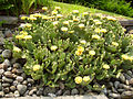 Opuntia humifusa (538963493).jpg