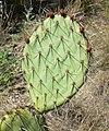 Opuntia phaeacantha 3.jpg