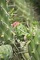 Opuntia subulata-3294.jpg