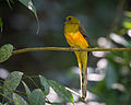 Orange-breasted Trogon.jpg