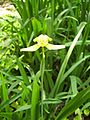Orchid yellow2.jpg