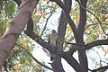 Oriental honey buzzard.JPG