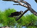 Osprey in Slash Pine.jpg