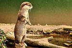 Otter - Shepreth Wildlife Park (25072992784).jpg