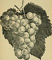 Our native grape. Grapes and their culture. Also descriptive list of old and new varieties (1893) (14595463829).jpg