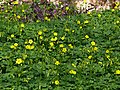 Oxalis-pc-group001.jpg