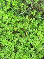 Oxalis corniculata leaf3 (14704180041).jpg