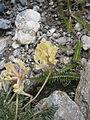 Oxytropis campestris 002.JPG