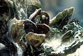 Oyster bed close up (5984383105).jpg