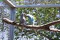 P. krameri manillensis -Indian-ringnecked Parakeet -mutants.jpg