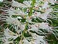 P1000652 Aesculus parviflora (Bottlebrush Buckeye) (Hippocastanaceae) Flower (detail).JPG
