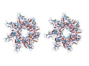AB toxin - crystal structure of the anthrax toxin protective antigen heptameric prepore