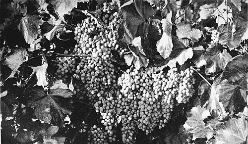 PSM V43 D167 Grapes from the desert.jpg