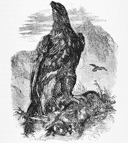 PSM V47 D837 Golden eagle aquila chrysaetos.jpg