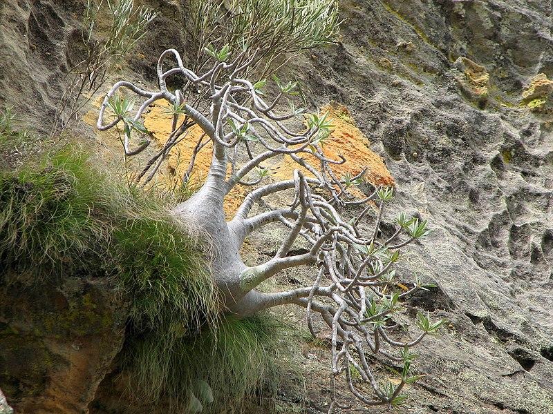 File:Pachypodium Rosulatum Gracilius 01.jpg