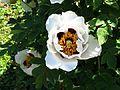 Paeonia rockii Arnold Arboretum.jpg
