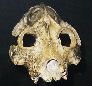 Palaeopropithecus - Front view of P. maximus skull