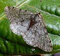 Pale Brindled Beauty. Phigalia pilosaria - Flickr - gailhampshire (3).jpg