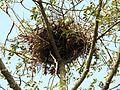 Pallas's Fish-eagle Haliaeetus leucoryphus nest by Dr. Raju Kasambe DSCN0662 (11).JPG