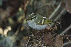 Pallas's Leaf-Warbler - great rarity in Italy S4E1751 (19261546342).jpg