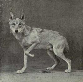 Indische wolf (Canis lupus pallipes)