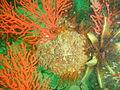 Palmate sea fan with feather stars ad bryozoans at Glencairn Fan Gardens P9078457.JPG