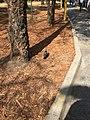 Paloma en parque de la CDMX.jpg
