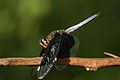 Palpopleura lucia horizontal.jpg