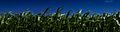 Panoramica de los Campos de Maiz – Campos de Ribadeo.jpg