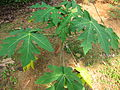Papaya - പപ്പായ-1.JPG
