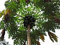 Papaya - പപ്പായ-2.JPG