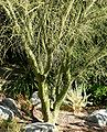Parkinsonia microphylla trunk.jpg