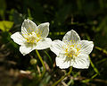 Parnassia palustris (flowers).jpg