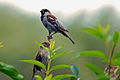 Passer domesticus -two-8.jpg
