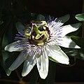 Passiflora caerulea - D7-07-0767b.jpg