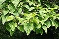 Paulownia tomentosa JPG2b.jpg