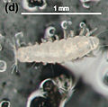 Pauropodidae sp. (Pauropoda).jpg