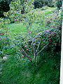 Peach-tree-norway.jpg