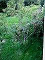 Peach-tree-norway.jpg