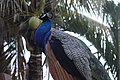 Peacock Crown.jpg